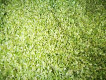Close up of new green rice Royalty Free Stock Image