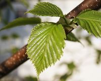 Close up of new leaves in early spring of the Birch Tree Stock Photo