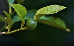 New Lime Stock Photos