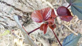 Close up of new red  leafy shoots Stock Photography