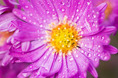 Close up of New York aster Stock Photography