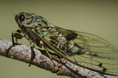 Close up of New Zealand Cicada. Close up of cicada sitting on a stick stock photos