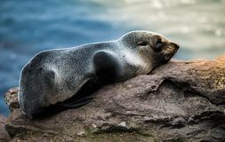 New Zealand fur seal on rock. A close up of a New Zealand fur seal lying on a rock and the ocean in the background Stock Photo