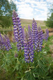 Close up of New Zealand Lupins Stock Image