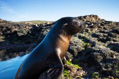 Close up of a New Zealand sea lion Zalophus californianus posing on a rock in the reefs of beach. royalty free stock image