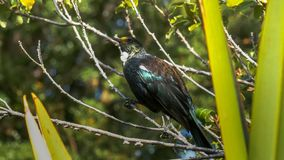 Close up of a new zealand tui on a branch royalty free stock photos