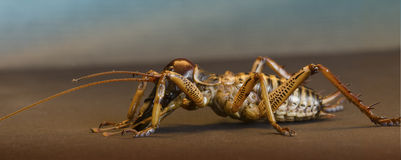 Close up of a New Zealand weta. Side view of New Zealand weta royalty free stock photo
