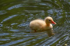 Mallard duck chick in a pond with a reflection. Birds and animal. Close up of a newborn Mallard Duck chick Anas platyrhynchos Stock Image