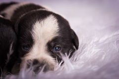 Close up of newborn puppy face. Black and white newborn puppy on fuzzy white blanket Stock Photography