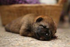 Close-up of a Newborn Shiba Inu puppy. Japanese Shiba Inu dog. B stock image