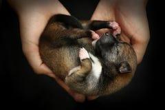 Close-up of a Newborn Shiba Inu puppy. Japanese Shiba Inu dog. B royalty free stock photo