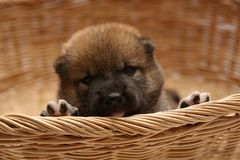 Close-up of a Newborn Shiba Inu puppy. Japanese Shiba Inu dog. Beautiful shiba inu puppy color brown. 16 day old. Puppy in basket. royalty free stock photos