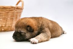 Close-up of a Newborn Shiba Inu puppy. Japanese Shiba Inu dog. Beautiful shiba inu puppy color brown. 16 day old. Puppy on white royalty free stock photos