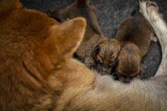 Close-up of a Newborn Shiba Inu puppy. Japanese Shiba Inu dog. Beautiful shiba inu puppy color brown and mom. 1 day old. Baby stock image