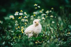 Little angry chicken standing on the earth and shouting. Close up newborn yellow chicken in warm tone and yellow beak on the grass field on green background stock images