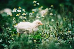 Little angry chicken standing on the earth and shouting. Close up newborn yellow chicken in warm tone and yellow beak on the grass field on green background stock photos