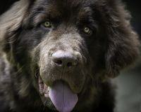 Close up of Newfoundland puppy. Face of a brown Newfoundland puppy with it`s tongue hanging out royalty free stock photography