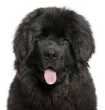 Close-up of Newfoundland puppy panting Stock Photography