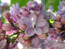 Close Up of Newly Blossoming Purple Lilac Stock Photo