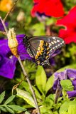 Eastern Black Swallowtail Butterfly. A close up of a newly emerged Eastern Black Swallowtail Butterfly in New England royalty free stock photography