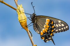Eastern Black Swallowtail Butterfly. A close up of a newly emerged Eastern Black Swallowtail Butterfly in New England royalty free stock photo