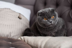 Close up of nice little grey kitten on sofa. Concentrated on aim. Close-up portrait of British cat lying on couch and intently looking aside Royalty Free Stock Photo