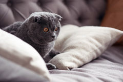 Close up of nice little grey kitten on sofa. With great attention. Close up of cute British cat lying on couch and staring fixedly forward Royalty Free Stock Images
