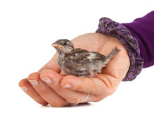 Close up of nice little sparrow in a hand Stock Photos