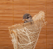 Close up of nice little sparrow in a nest of jute Royalty Free Stock Image