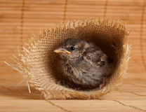 Close up of nice little sparrow in a nest of jute Royalty Free Stock Photography