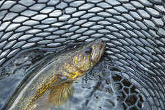 Close up of a nice walleye in the net. A close up shot of a nice walleye in a fishing net Stock Photography