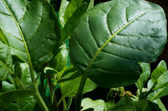 Close  up of Nicotiana rustica leaves Stock Image