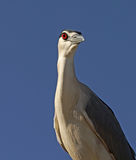 Close up of a night heron Stock Photos