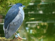 Close up of a night heron Nycticorax nycticorax stock photo