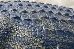 Close-up nile crocodile Royalty Free Stock Photos