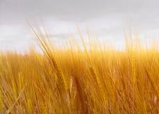 Close-up no trigo dourado fotos de stock