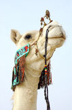 Close up of nomad camel Royalty Free Stock Photo