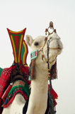 Close up of nomad camel and saddle Stock Photos