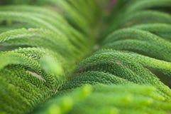 Close up Norfolk island pine branch fresh blur background, Aruacaria heterophylla Stock Images