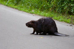 The close-up of the North American beaver Stock Photos