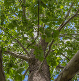 Close-up of a North American Sycamore Tree Stock Photography