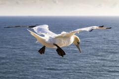 Close up of a Northern Gannet in flight from behind - Morus bassanus. Northern Gannet gliding in blue sky - Morus bassanus - Helgoland Island - Germany Stock Photos