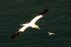 Close up of a Northern Gannet flying. Close up of a Northern Gannet in flight Stock Photo