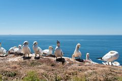 Close-up of northern gannets nesting on cliff on Heligoland Island against blue sea royalty free stock photo