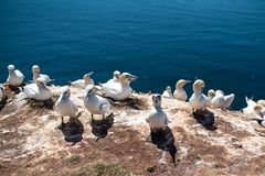 Close-up of northern gannets nesting on cliff on Heligoland Island against blue sea royalty free stock photography