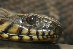 Close up of a Northern Water Snake. Royalty Free Stock Photography