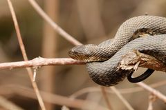 Close up of a northern water snake sunning itself on a branch. A northern water snake suns itself on a branch in the marsh royalty free stock image