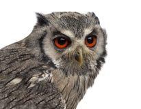 Close-up of a Northern white-faced owl - Ptilopsis leucotis Stock Image