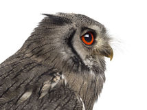 Close-up of a Northern white-faced owl - Ptilopsis leucotis Stock Photography