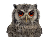 Close-up of a Northern white-faced owl - Ptilopsis leucotis Stock Photo